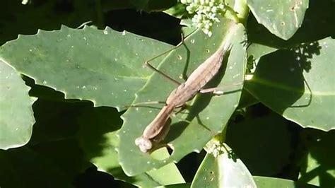 praying mantis colors praying mantis vary in color