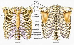 Names Of Thoracic Bones