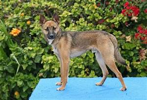 Big German Shepherds: German Shepherd Jack Russell Terrier Mix