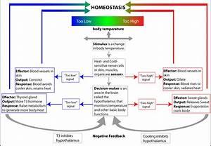 Maintaining Homeostasis