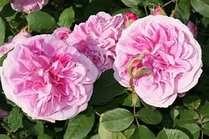 Begleitpflanzen Für Rosen : rosenliste die sch nsten rosen f r den hausgarten ~ Orissabook.com Haus und Dekorationen