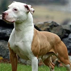 American Pitbull Terrier Breed Guide - Learn about the ...