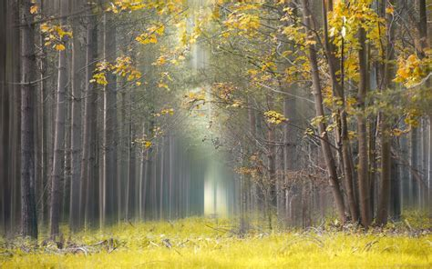 nature landscape yellow leaves grass mist forest