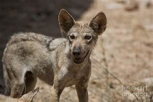 Arabian Wolf Canis Lupus Arabs Photograph by Eyal Bartov