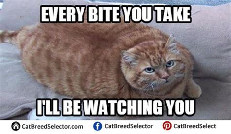 Fat Cat Memes  Cat Breed Selector