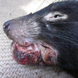 Tasmanian devil facial tumour disease (DFTD ...