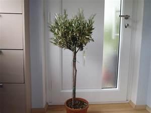 Welche Erde Für Palmen : palmen und co frage zu olievenbaum und zitrusbaum ~ Watch28wear.com Haus und Dekorationen