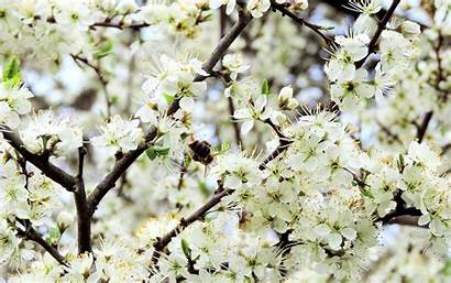 Blossom Apple Blossoms Flowers Spring Wallpapers Mobile