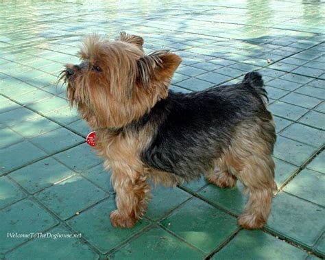 do yorkies shed 14 best images about yorkie haircuts on best