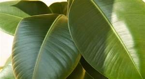 Pflanze Mit Großen Blättern : b ropflanzen die 12 besten gr npflanzen f rs b ro impulse ~ Michelbontemps.com Haus und Dekorationen