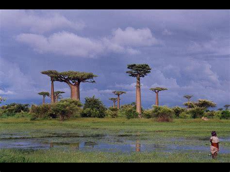 バオバブの木 に対する画像結果