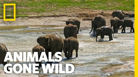 Why Did The Elephant Cross The Road?  Animals Gone Wild