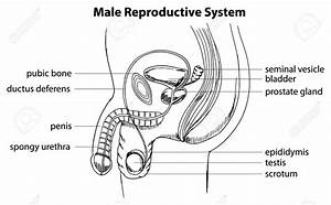 Male Reproductive Organ Drawing With Label - Anatomy Body List