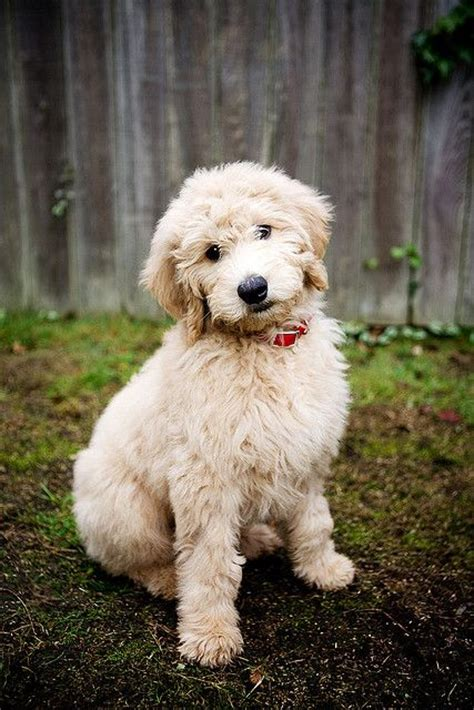 dogs that dont shed labradoodle goldendoodle medium size breeds just right