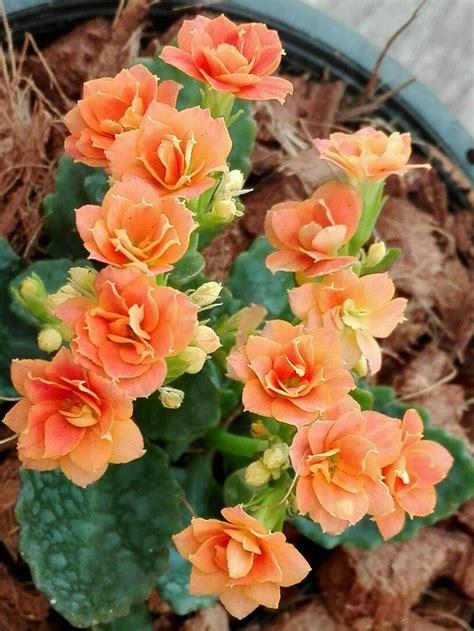 กุหลาบหิน(Kalanchoe) | ดอกไม้, ดอกไม้สวย, ธรรมชาติ