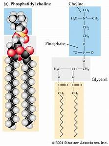 Electron J Biomed 2009;3:19-35. Süleymanoglu ...  Phosphatidylcholine