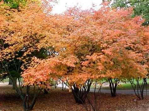 ornamental tree sun amelanchier ornamental trees for sale online at trees direct