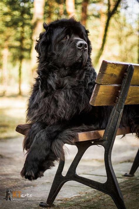 newfoundland dog info  pictures fallinpets