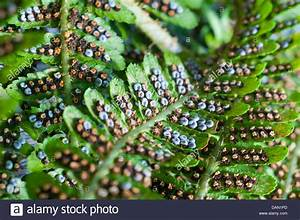 Spores On The Underside Of A Fern Leaf Stock Photo