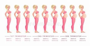 Pregnancy Development By Months  Isolated Vector