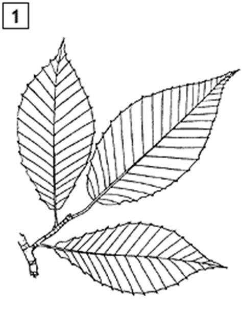 mainefoliagecom kids page maine tree guide