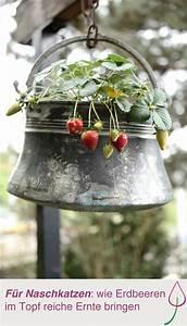 Erdbeeren Pflanzen Die Wichtigsten Tipps : die besten 25 erdbeeren pflanzen ideen auf pinterest ~ Lizthompson.info Haus und Dekorationen