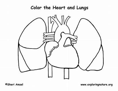 Anatomy Coloring Human Printable Pages Heart Worksheets