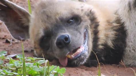 cute  funny hyenas   bound    smile