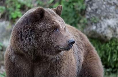 Bear Standing Muzzle Face Brown Predator Fur