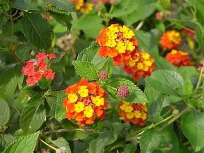 Lantana Radiation Plant Plants Flowers Garden Yellow