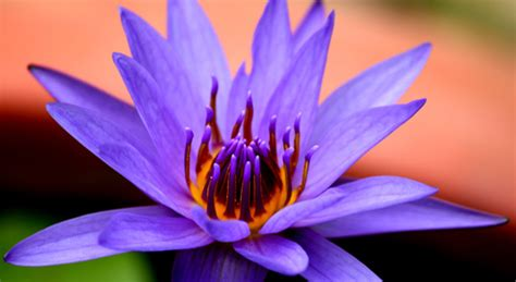 lotus flower color meanings the meanings of the different colors of the lotus flower