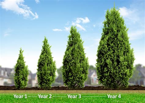 fast growing evergreen trees thuja green giant evergreen trees for sale fast growing trees