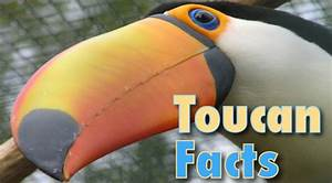 Toucan Facts And Information For Kids With Pictures & Video