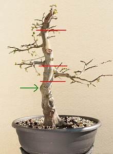 Bonsai Stecklinge Machen : wann man einen bonsai am stamm schneidet oder s gt bonsai gestaltung pflege pinterest ~ Indierocktalk.com Haus und Dekorationen