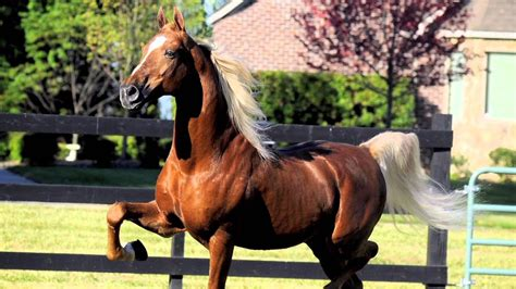 saddlebred american horse breed america saddlebreds beauty