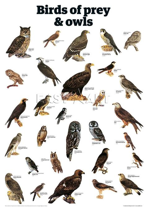 birds of prey identification birds of prey and owls