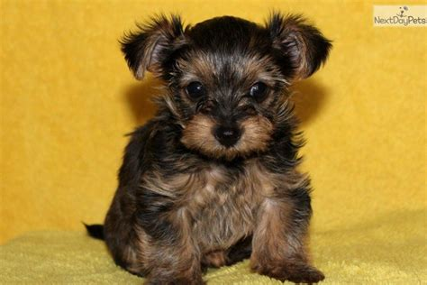 yorkiepoo yorkie poo puppy  sale  lancaster