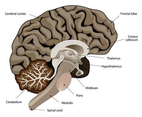 Pons hersenen