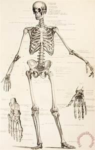 31 Diagram Of The Human Skeleton