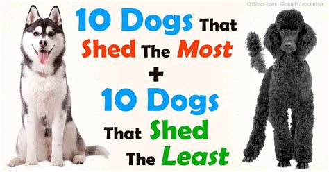 breeds that shed the most hair top 10 least shedding dogs breeds picture