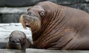 walrus mother shows   son    unveiled