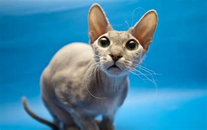 Sphynx Cats Hairless Kitty Everything Heart Warming