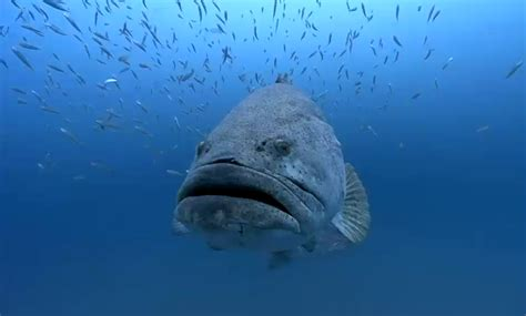 grouper goliath grow they comments external pounds