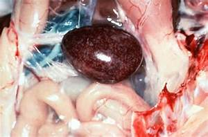 Overview Of Hemorrhagic Enteritis  Marble Spleen Disease In