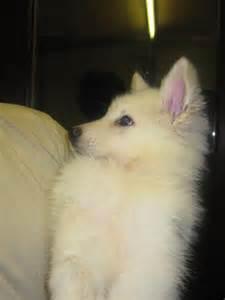 White Fluffy German Shepherd Puppies