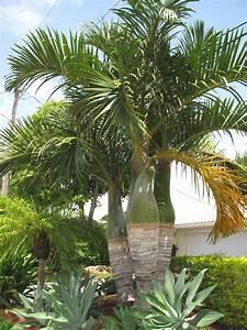 Spindle Palm, hyophorbe verschaffeltii, article