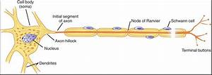 Axon Hillock: The Neurons' Trigger Zone | Physiology Plus