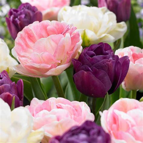 van zyverden tulips bulbs double peony blend set