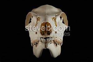 White-tailed Deer Skull female face on a black background ...