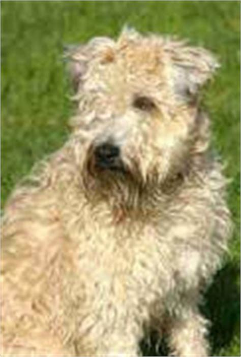 wheaten terriers do they shed non shedding dogs low shedding dogs with pictures
